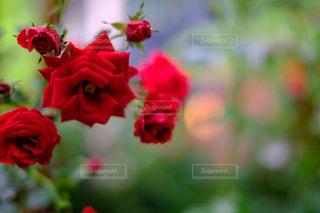 花,雨,赤,水滴,バラ,景色,鮮やか,薔薇,雨粒,草木,生花