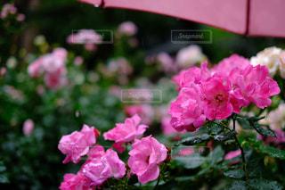 花,雨,傘,屋外,ピンク,水滴,バラ,鮮やか,雨粒,草木