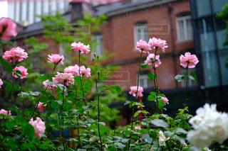 花,雨,屋外,ピンク,薔薇,赤レンガ,雨粒,草木
