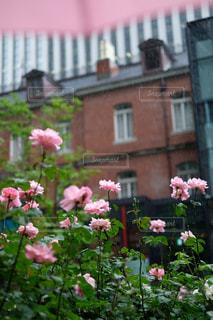 花,雨,傘,屋外,ピンク,バラ,薔薇,バラ園,赤レンガ,雨粒,草木