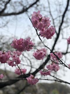 花,桜,ピンク,ハート