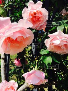 春,ピンク,晴れ,バラ,靱公園