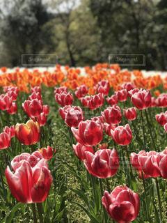 花,チューリップ,明るい,北九州,グリーンパーク