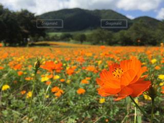 フィールド内の黄色の花の写真・画像素材[1124021]