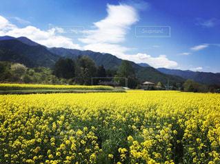 菜の花畑の写真・画像素材[1096072]