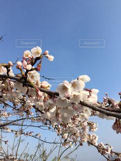 桜の写真・画像素材[1096703]