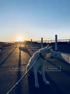 日差しの中の犬の写真・画像素材[1099655]