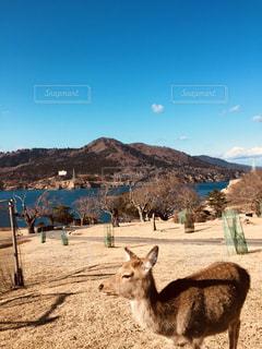 金華山の鹿の写真・画像素材[1099699]