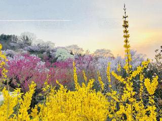 フィールド内の黄色の花の写真・画像素材[1123851]