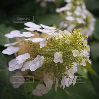 花,あじさい,紫陽花,草木,カシワバアジサイ