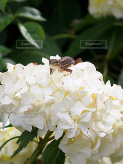 花,白,あじさい,紫陽花,トカゲ,草木