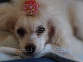カメラを見て小さな白い犬の写真・画像素材[1220044]