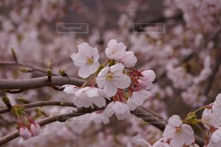 さくら咲くの写真・画像素材[1125251]