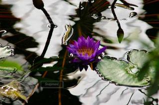 紫のスイレンの写真・画像素材[1125267]