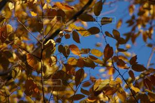 秋,紅葉,青空,葉っぱ,秋空