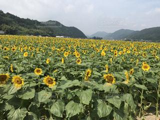 フィールドの中央に黄色の花の写真・画像素材[1122912]