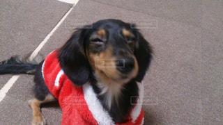 カメラを見て小さな黒い犬の写真・画像素材[1192087]