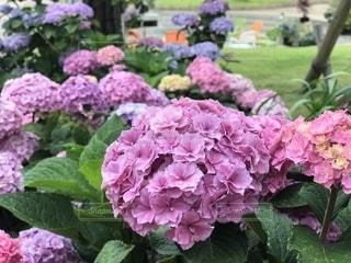 雨,庭,紫,紫陽花,梅雨