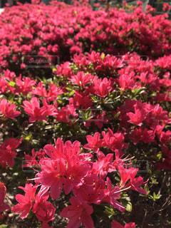 花,カラフル,フラワー,鮮やか,満開,flower,ツツジ,躑躅,草木,つつじ