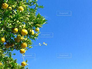 近くに果物の木のアップの写真・画像素材[1115409]