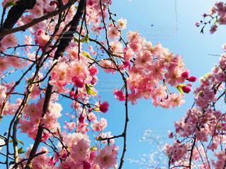 桜の写真・画像素材[1128267]