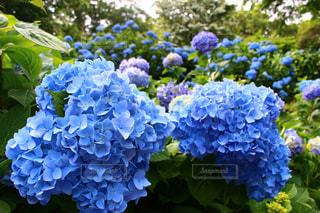 自然,花,雨,植物,あじさい,青い花,紫陽花,梅雨,6月