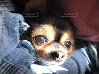 カメラを見て小型犬の写真・画像素材[1213785]