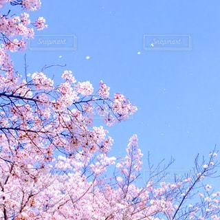 青空を舞う桜の写真・画像素材[1109354]