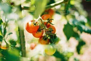 食べ物,夏,果物,トマト,野菜,食品,食材,日向,草木,夏野菜,フレッシュ,生野菜,ベジタブル,栄養