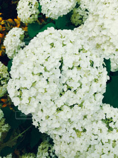 自然,花,緑,白,あじさい,丸,梅雨,円,フォトジェニック