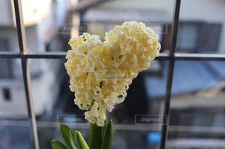 花,黄色,ハート型,ハート,愛,ヒヤシンス,らぶ