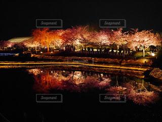 春,屋外,夜桜,ライトアップ,なばなの里