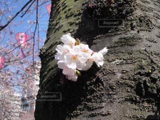 桜の幹に咲く花の写真・画像素材[1212745]
