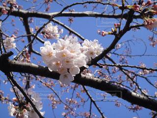 桜の咲く頃の写真・画像素材[1212753]