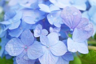 雨に濡れたあじさいの花の写真・画像素材[1216504]