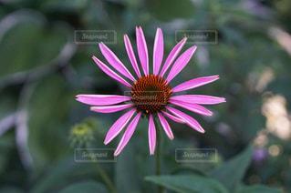ピンクの花の写真・画像素材[1223657]