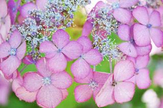 花,植物,あじさい,紫,花びら,鮮やか,紫陽花,梅雨,赤紫,インスタ映え