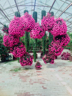 花,ピンク,植物,ハート