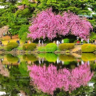 新宿御苑の桜 - No.1133295