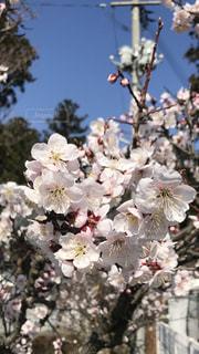 花,春,桜,樹木,一関,岩手県,咲く