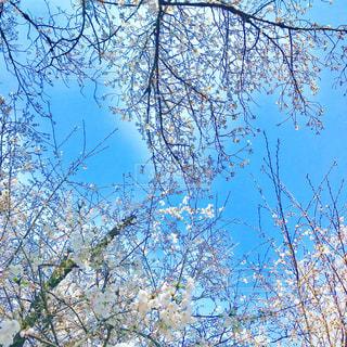 桜と青空の写真・画像素材[1103135]