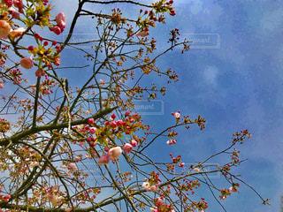 うららかな青空と桜の木の写真・画像素材[1103459]