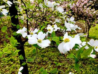 春おか広場のハナミズキの写真・画像素材[1122618]