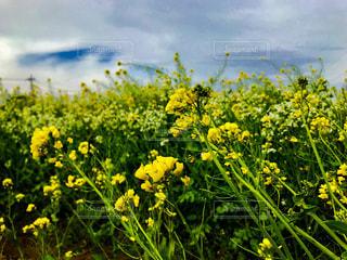 強い風の中の菜の花の写真・画像素材[1122636]