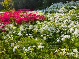 埼玉県さいたま市見沼区の芝桜の写真・画像素材[1124704]