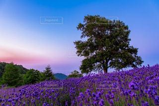 空,花,夏,夕焼け,紫,夕方,景色,ラベンダー,樹木,札幌,コンテスト,隠れ名所,sappro