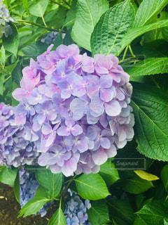 明月院の紫陽花の写真・画像素材[1122660]