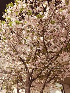 八重桜の写真・画像素材[1124593]