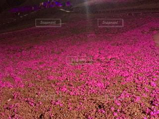 東京ドイツ村の芝桜の写真・画像素材[1133347]