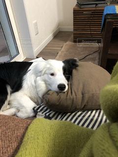 動物,屋内,ペット,癒し,愛犬,見つめる,ボーダーコリー